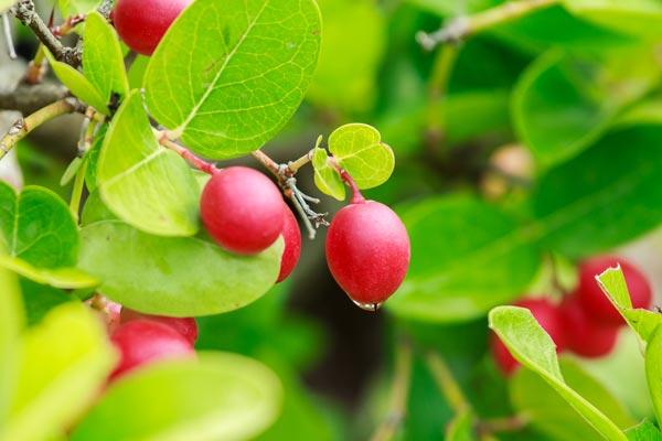 มะม่วงหาวมะนาวโห่ ผลไม้ที่มีธาตุเหล็กและมีวิตามินสูง