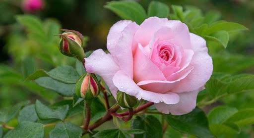 ดอกกุหลาบ เป็นตัวแทนแห่งความรักความงดงาม