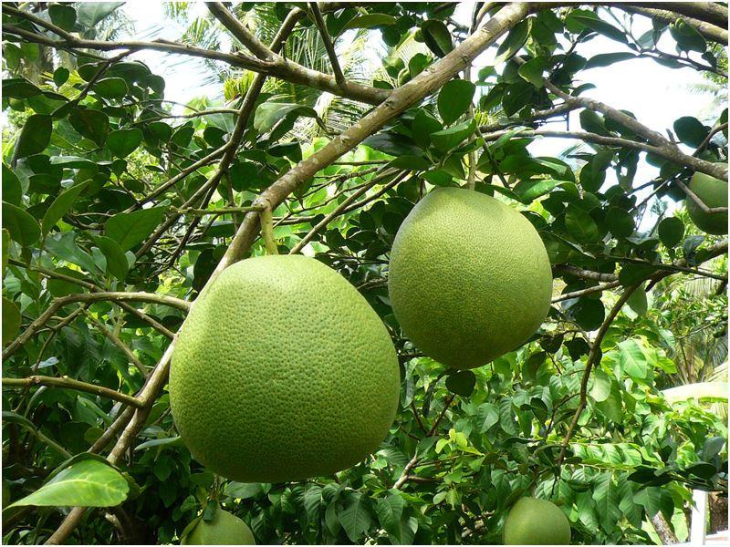 ส้มโอ สายพันธุ์ที่มีแถบกำเนิดมาจากกลุ่มเอเชียตะวันออกเฉียงใต้