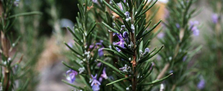 โรสแมรี่ พืชพันธุ์ไม้ที่มีราคาสูง นำมาประดับตกแต่งก็สวยงาม