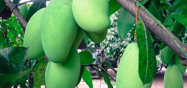 ต้นมะม่วง ที่ออกผลผลมากที่สุดและช่วยสร้างประโยชน์มหาศาล