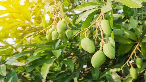 ต้นมะม่วง เป็นต้นที่สามารถใช้ประโยชน์ได้มาก