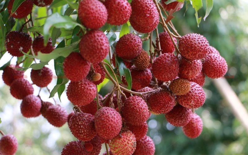 ต้นลิ้นจี่ ที่มีรสชาติหวานกรอบอร่อย
