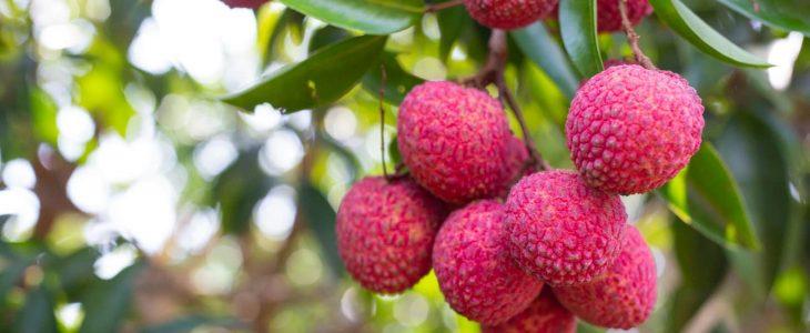 ต้นลิ้นจี่ ไม้ผลที่มีรสชาติหวานฉ่ำ พืชเศรษฐกิจแสนหอม