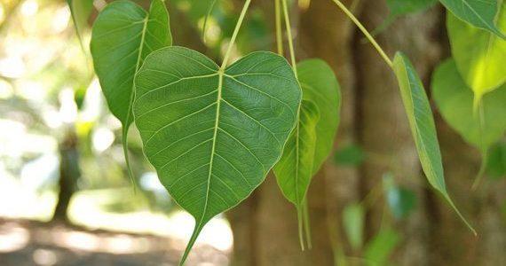 ต้นโพธิ์ ต้นไม้มงคลที่ออกใบแผ่สวยงาม คู่ควรกับชาวไทย