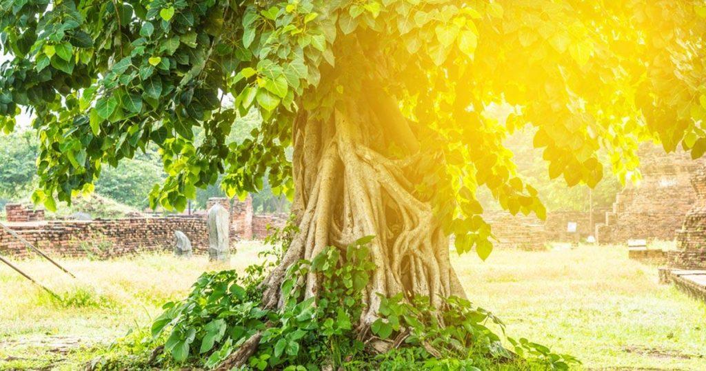 ต้นโพธิ์ ต้นไม้สูงใหญ่ที่ให้ร่มเงาของชาวพุทธ