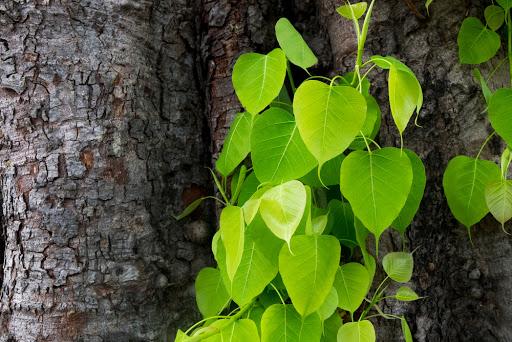 ต้นโพธิ์ สามารถปลูกได้ทุกที่