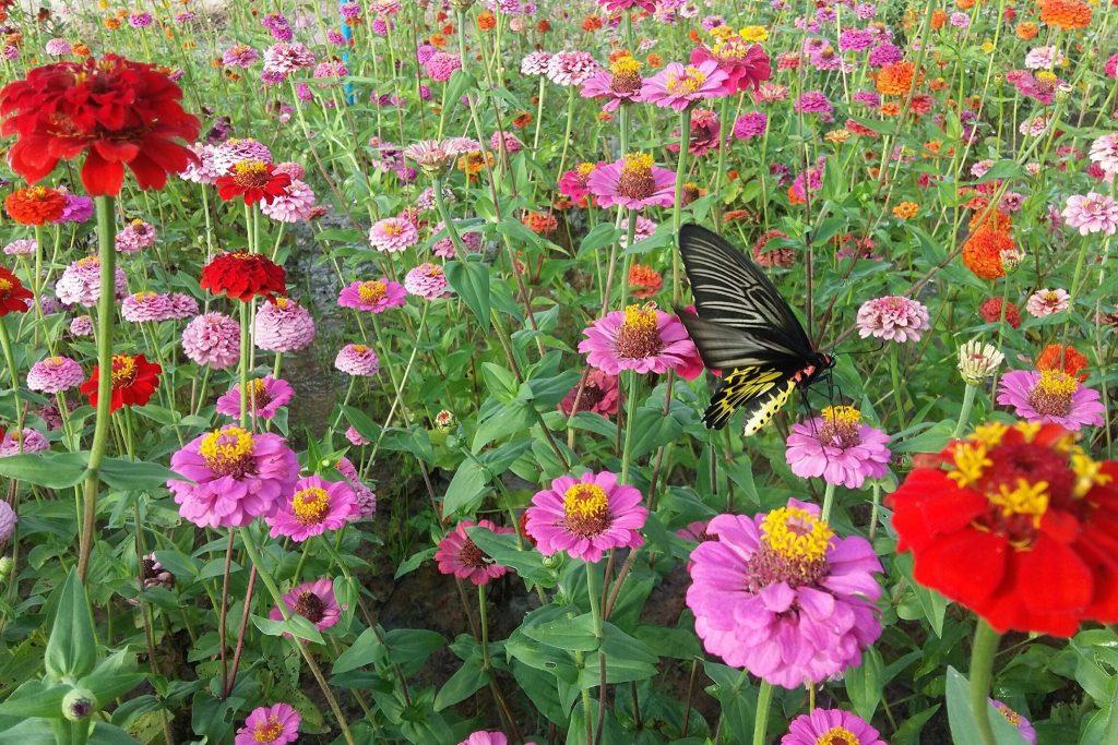 บานชื่น ดอกไม้หลากหลายสีสันที่นิยมปลูกในประเทศไทย