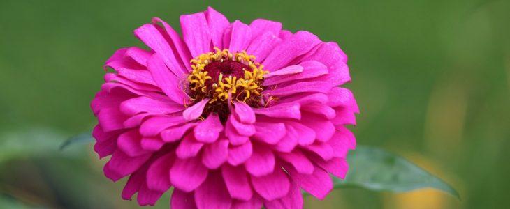 บานชื่น ไม้มงคลที่มีดอกสวยงาม และยังมีความหมายดี