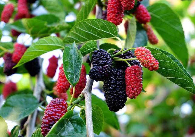 มัลเบอร์รี่ ผลไม้ในตระกูลเบอร์รี่ยอดนิยมที่มีวิตามินสูง