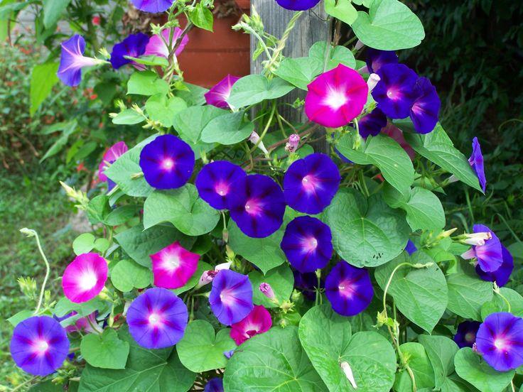 ดอกผักบุ้งญี่ปุ่น ดูแลง่ายเหมาะกับอากาศบ้านเรา