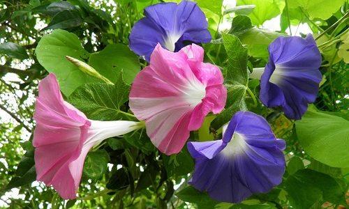 ดอกผักบุ้งญี่ปุ่น Morning Glory ดอกไม้หลากสีไม้เถาที่น่าปลูกมาก