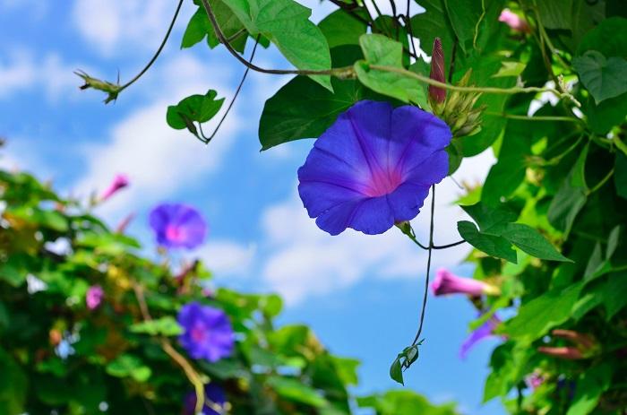 ดอกผักบุ้งญี่ปุ่น Morning Glory ไม้ประดับที่นิยมปลูกตามริมระเบียง