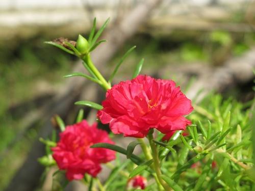 ต้นคุณนายตื่นสาย ดอกไม้สวยๆที่ทนทานต่อสภาพอากาศมาก