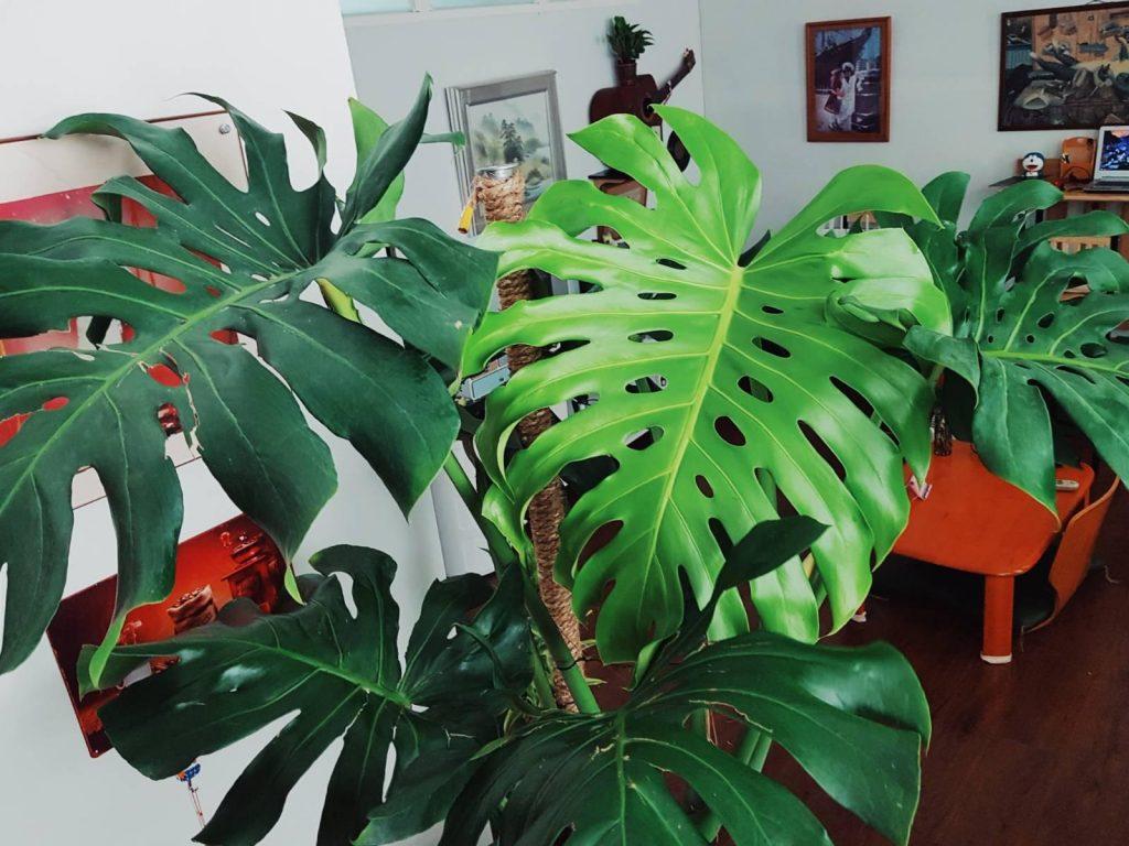 ต้นมอนสเตอร่า มีความสวยงามปลูกประดับตกแต่งบ้านได้