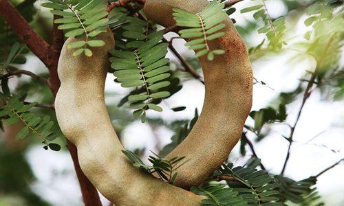 ต้นมะขาม มีคุณค่าสารพัดที่ทุกบ้านควรปลูกไว้อย่างแน่นอน