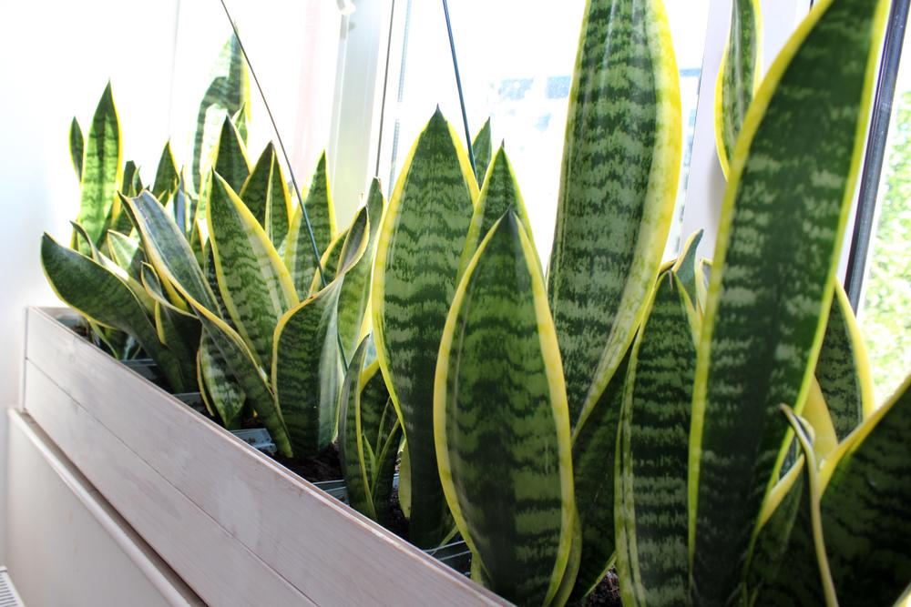 ต้นลิ้นมังกร ที่มีประโยชน์และสรรพคุณทางยา