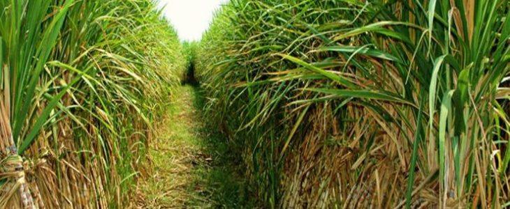ต้นอ้อย พืชที่ช่วยส่งเสริมเศรษฐกิจไทยได้ดียิ่งขึ้น