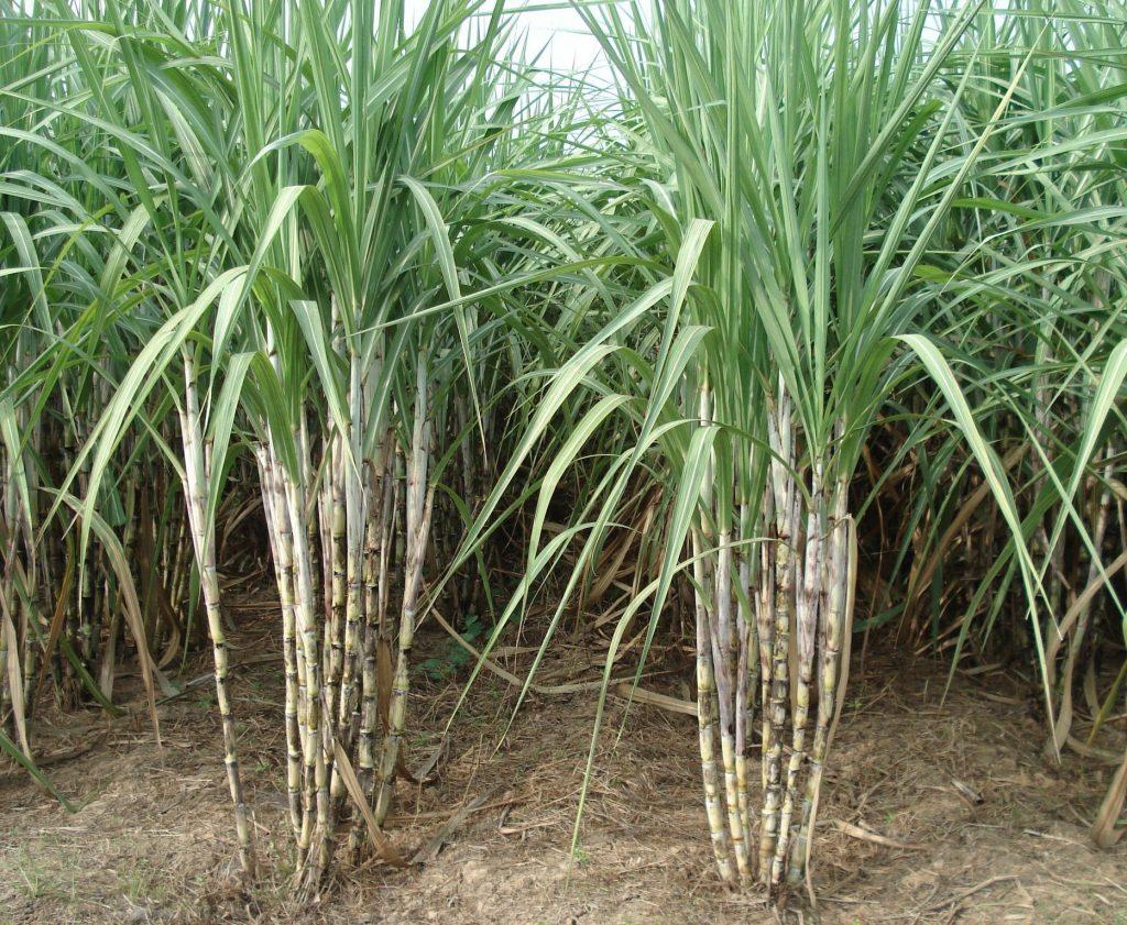 ต้นอ้อย พืชที่มีประโยชน์มากมายสร้างความภาคภูมิใจให้คนไทย