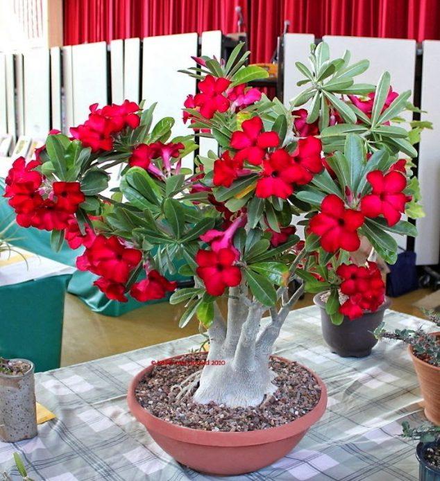 ต้นชวนชม ที่ดอกมีสีสวยเป็นได้ทั้งไม้ประดับและไม้ทำเงิน