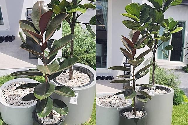 ต้นยางอินเดีย สามารถแตกกิ่งและผลิใบได้เป็นอย่างดี