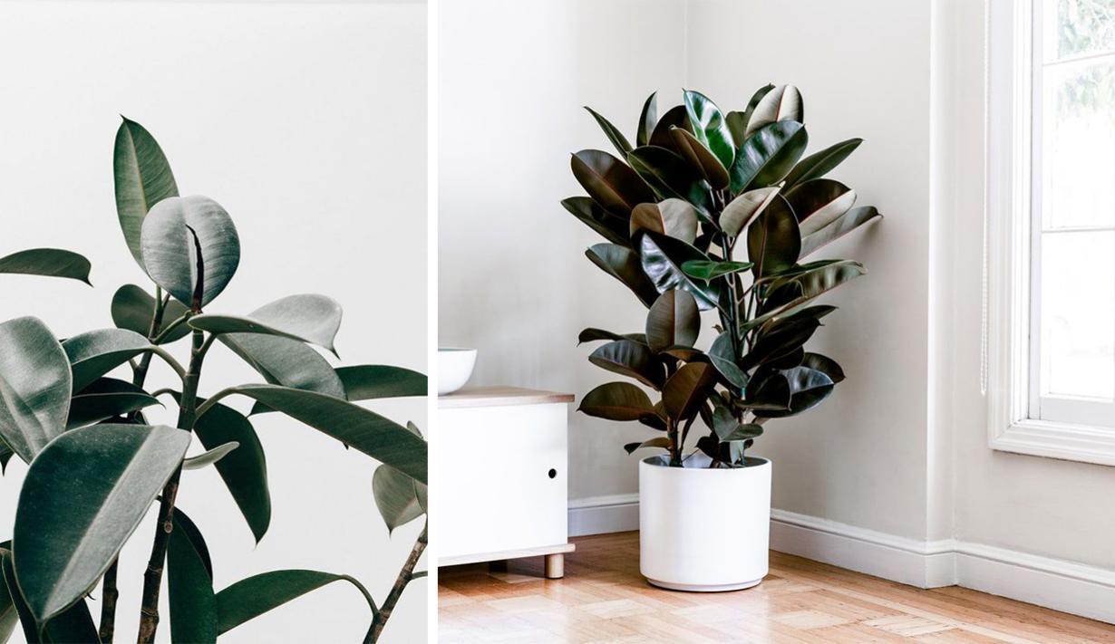 ต้นยางอินเดีย ไม้ประดับฟอร์มสวยที่ช่วยฟอกอากาศภายในบ้าน