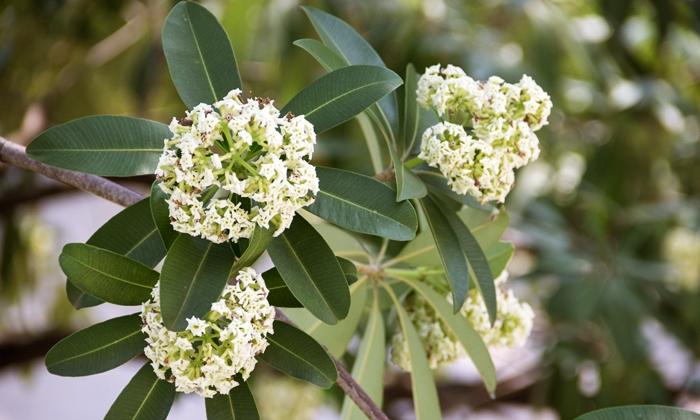 ต้นตีนเป็ด ที่ดอกของต้นพญาสัตบรรณ มีกลิ่นแรง