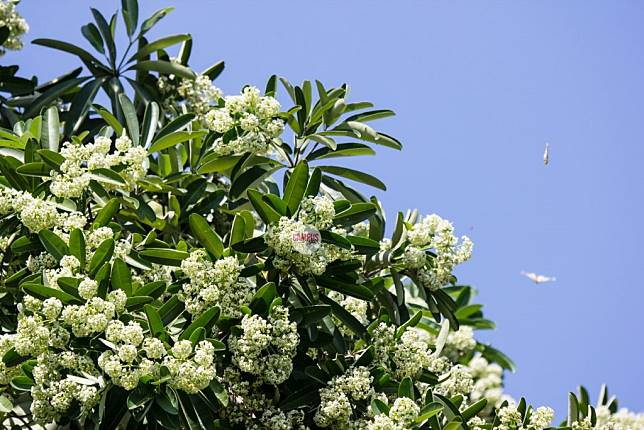 ต้นตีนเป็ด เป็นไม้ที่ให้ผู้ที่ปลูกได้รับการเคารพจากผู้อื่น