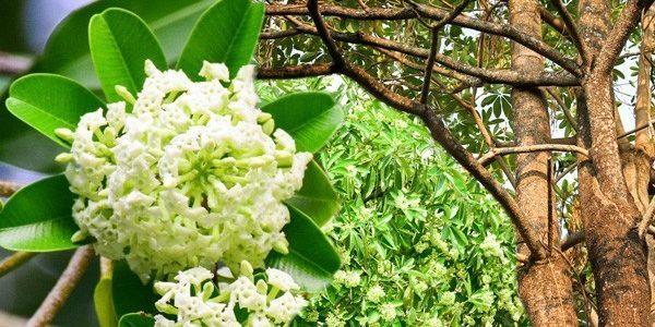 ต้นตีนเป็ด ไม้ใหญ่ที่ดอกมีกลิ่นแรงแต่เป็นไม้มงคล