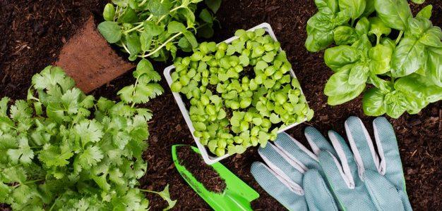 ปลูกผักสวนครัวรั้วกินได้ ผักสวนครัวที่เติบโตง่ายให้ผลผลิตเร็ว