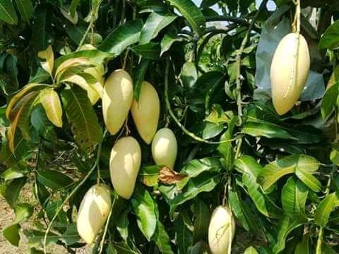 ผลไม้มงคล ต้นมะม่วง